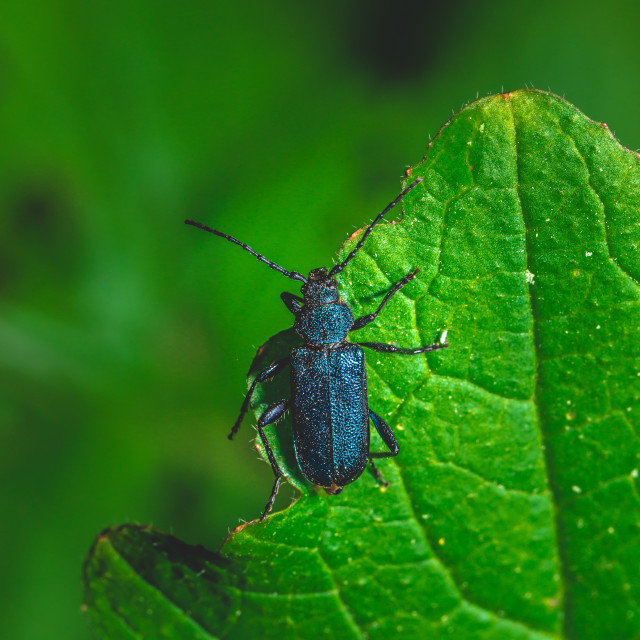 """""""Nice big bug with blue color perched on green leaf"""" stock image"""