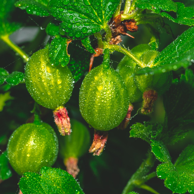 """""""Small green gooseberries still on the plant covered by water drops"""" stock image"""