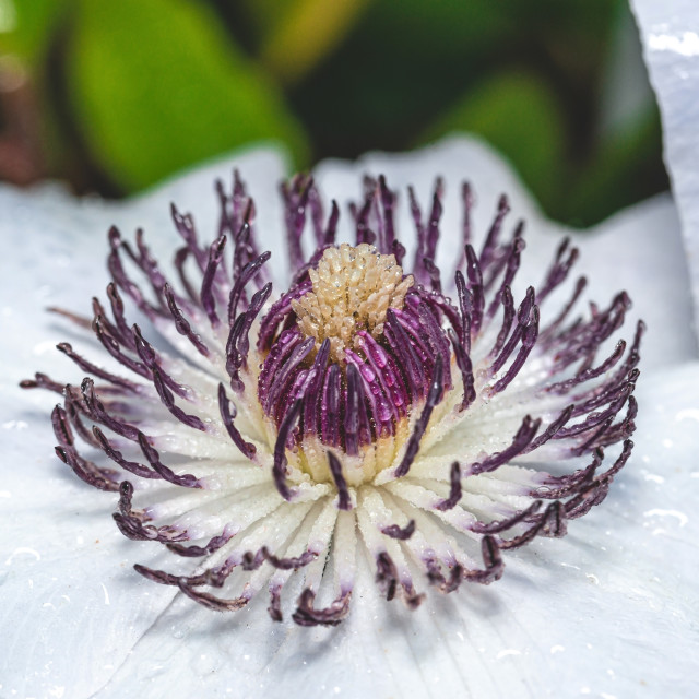 """""""Center of white bloom with purple pistils covered by water drops"""" stock image"""