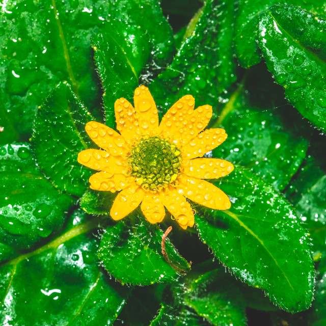 """""""Small yellow bloom with green center among several wet leaves"""" stock image"""