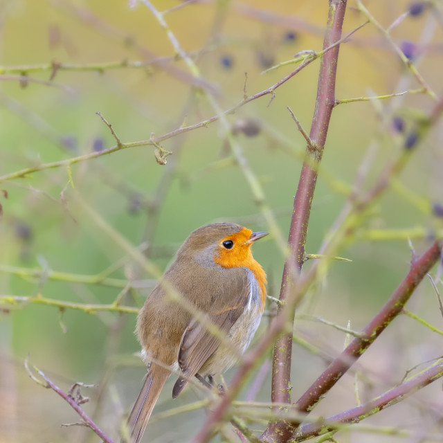 """Shot of a Robin on a branch"" stock image"