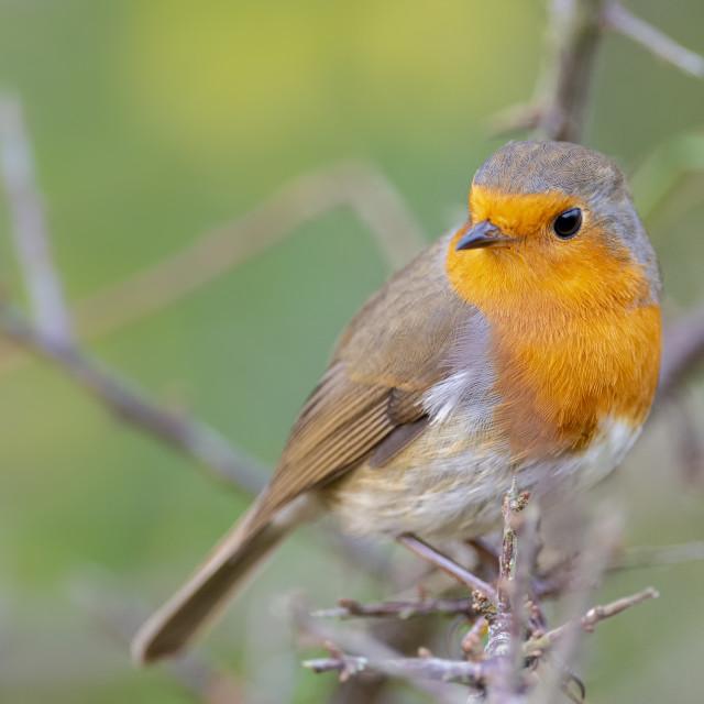 """Close up shot of a Robin"" stock image"