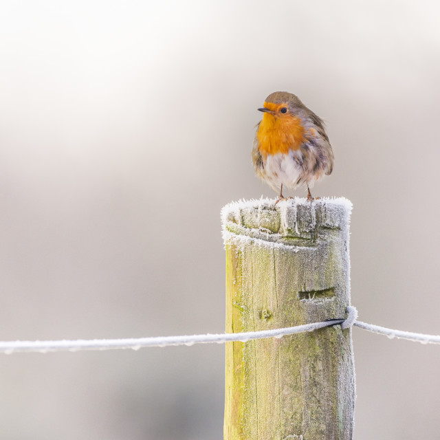 """Robin in winter on a post"" stock image"