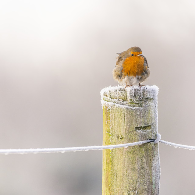 """Robin on a post in winter"" stock image"