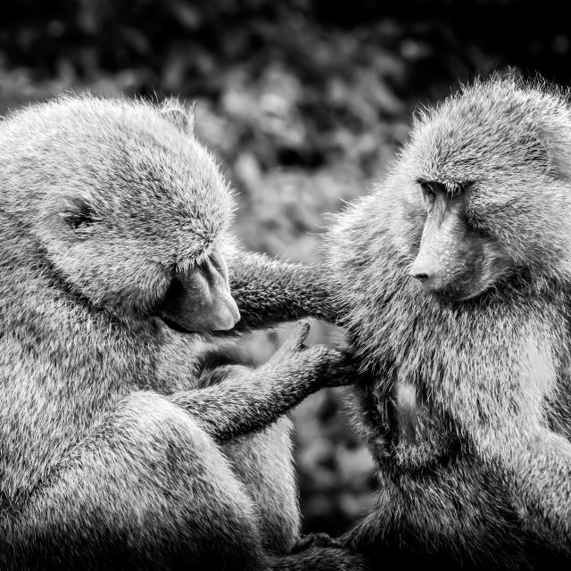 """Baboons grooming"" stock image"