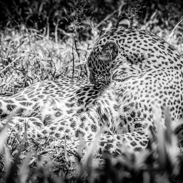 """""""Leopard Lying Down"""" stock image"""