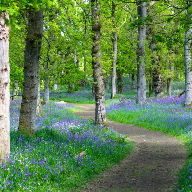 """""""Walk in a Bluebell Wood"""" stock image"""