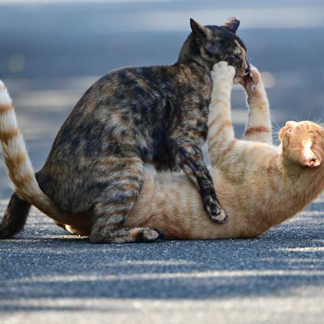 """""""Cats playing or fighting?"""" stock image"""
