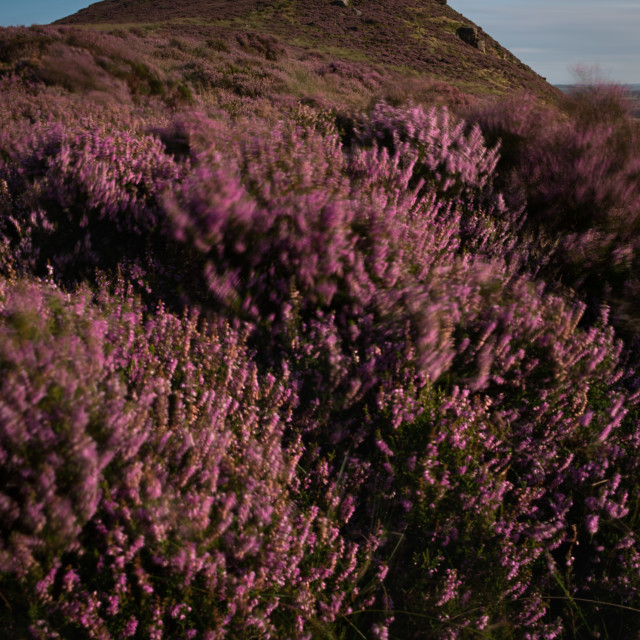 """The windswept heather moorland of Hen Cloud"" stock image"