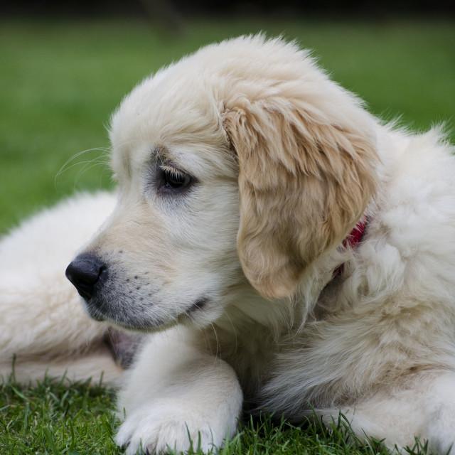 """Golden Retriever Puppy"" stock image"