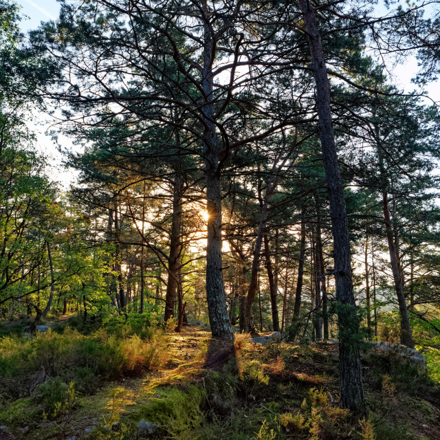 """""""Sunrise in fontainebleau forest"""" stock image"""