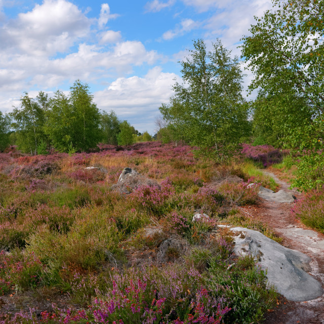 """Purple heather in Coquibus plateau"" stock image"
