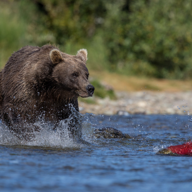 """""""brown bear (grizzly) hunting salmon"""" stock image"""
