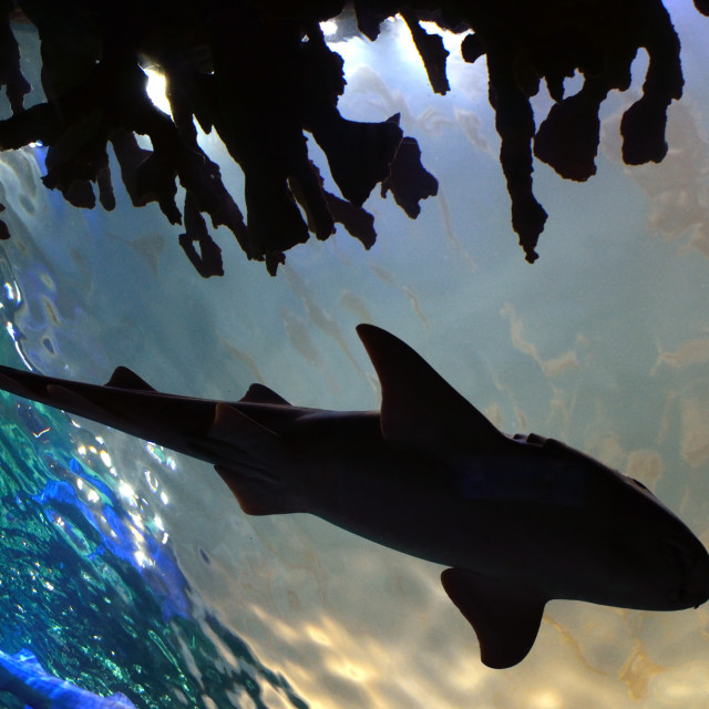 """Shark silhouette"" stock image"