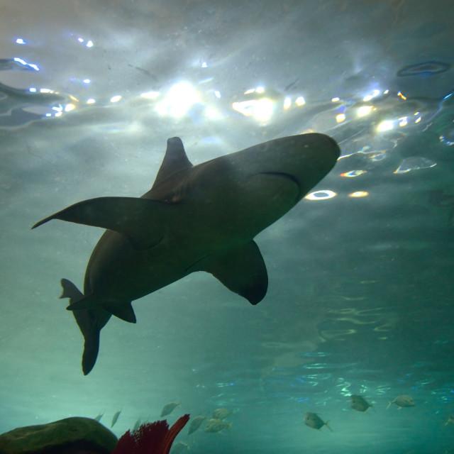 """""""Shark in aquarium"""" stock image"""