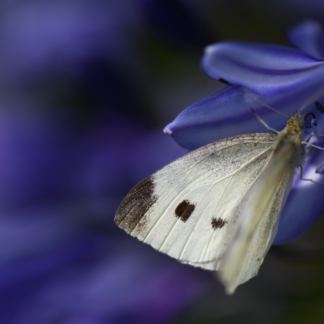 """""""Butterfly in the agapanthus"""" stock image"""