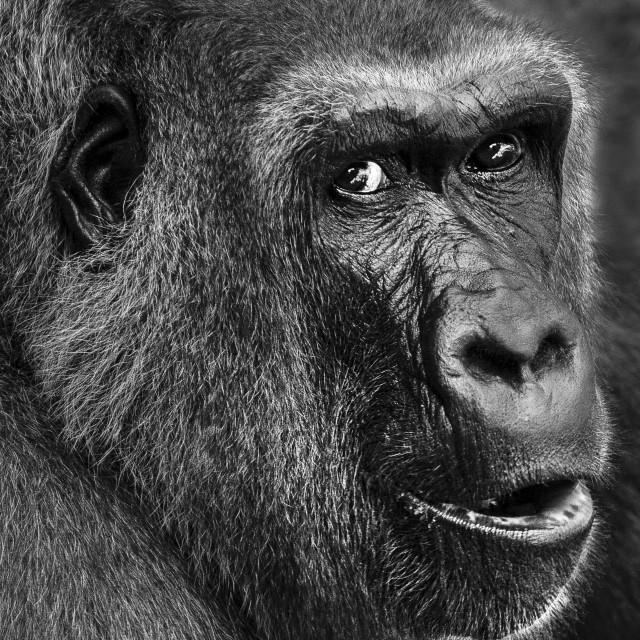 """Gorilla face"" stock image"