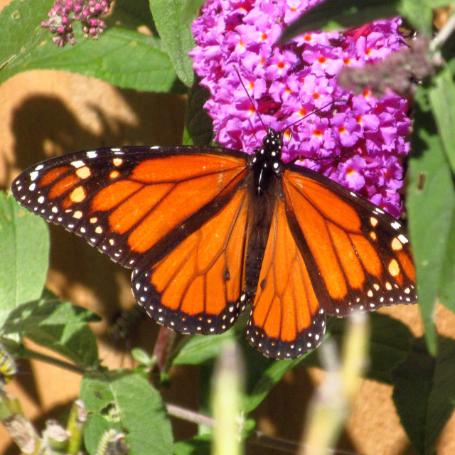 """Monarch Butterfly"" stock image"