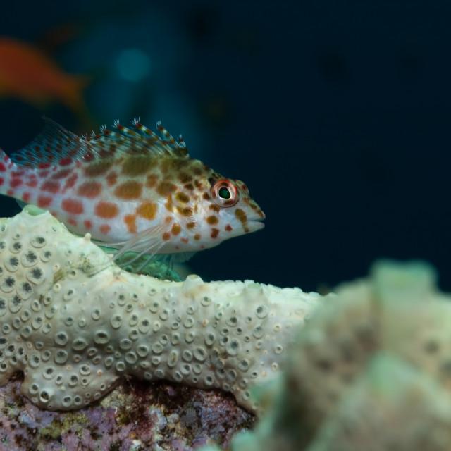 """Coral hawkfish in Sudan"" stock image"