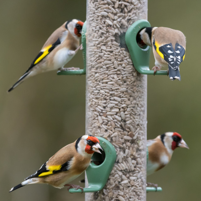 """""""Four goldfinches seed feeder"""" stock image"""