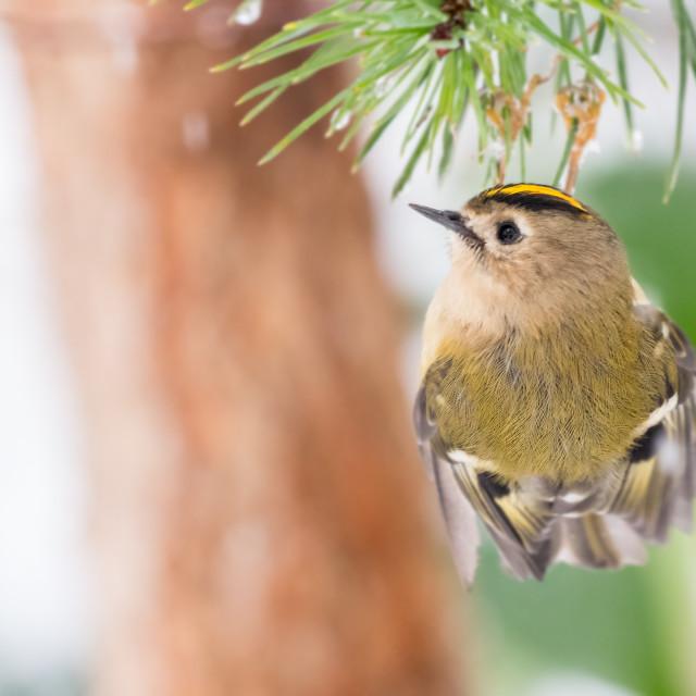 """""""Goldcrest clinging on pine tree"""" stock image"""