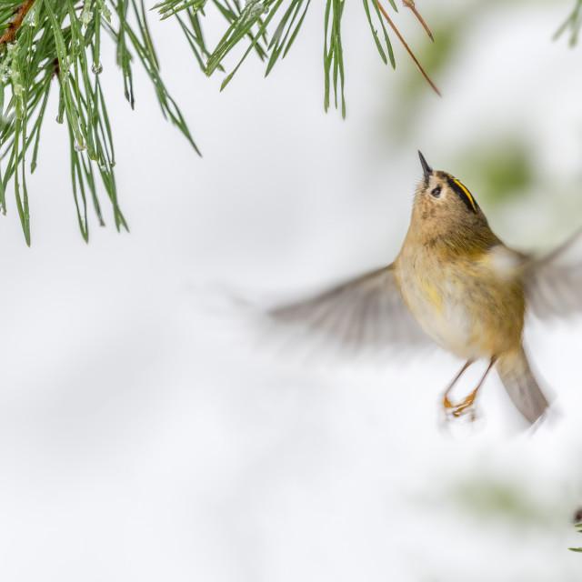 """""""Goldcrest flying under pine needles"""" stock image"""