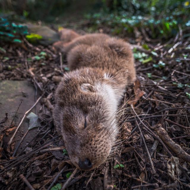"""Dead otter road kill"" stock image"