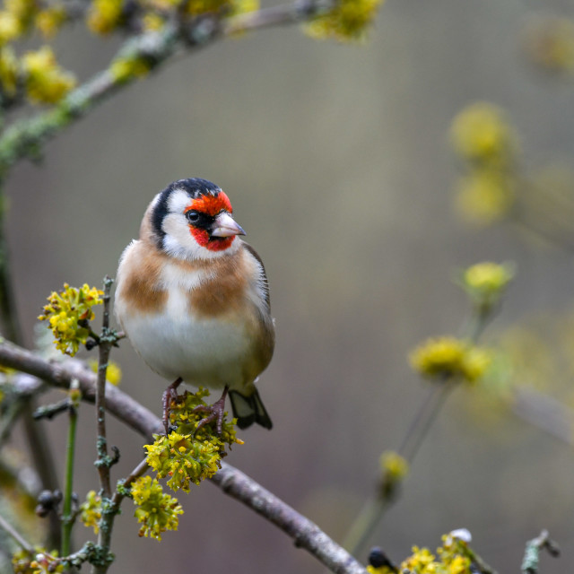 """Garden goldfinch tree flowers"" stock image"