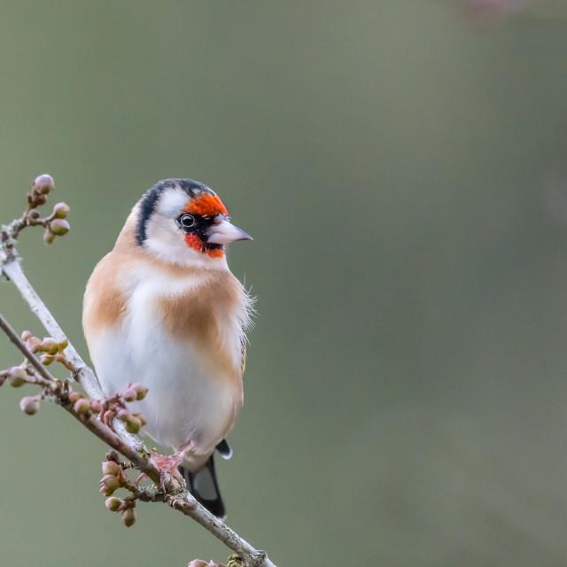 """Goldfinch winter portrait"" stock image"