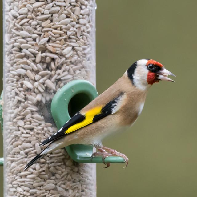 """Goldfinch feeder portrait"" stock image"