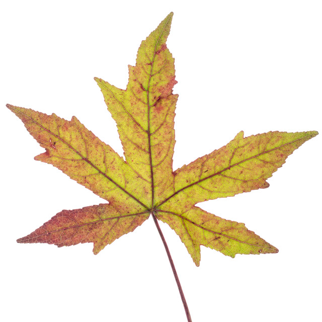 """""""Green brown Japanese maple leaf"""" stock image"""