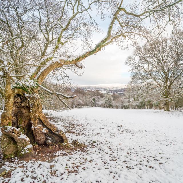 """Hollow tree winter landscape"" stock image"