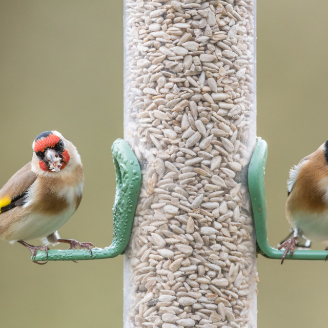 """""""Two golfinches seed feeder"""" stock image"""
