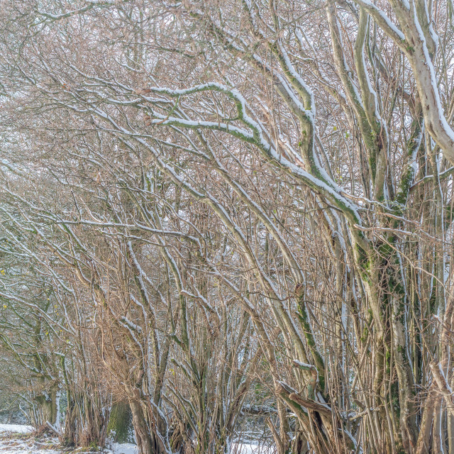 """Winter woodland scene"" stock image"