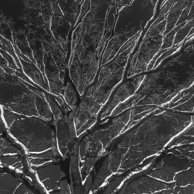 """Winter tree canopy"" stock image"