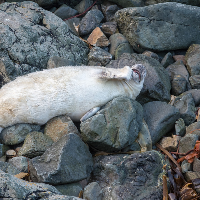 """""""Seal pup plastic pollution"""" stock image"""