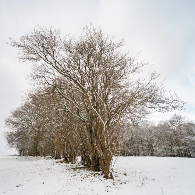 """""""Brecon Beacons winter tree scene"""" stock image"""