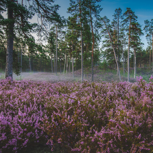 """Sunrise at the heather meadow"" stock image"