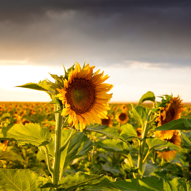 """Sunflowers Field at Sunset"" stock image"