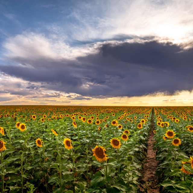 """""""Sunflowers Field at Sunset"""" stock image"""