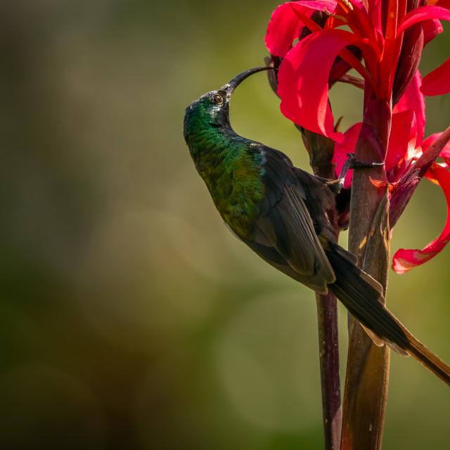 """Loten's Sunbird"" stock image"