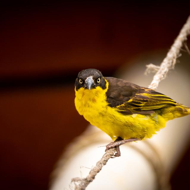 """Village Weaver bird"" stock image"