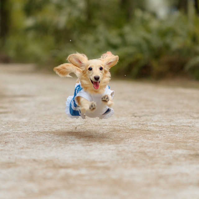 """Dachshund jumping in a park"" stock image"