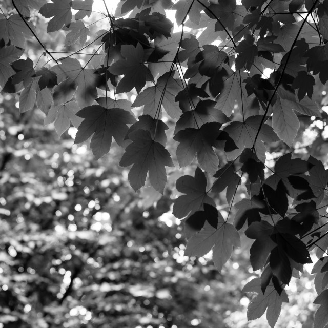"""""""Sycamore Tree Leaves"""" stock image"""