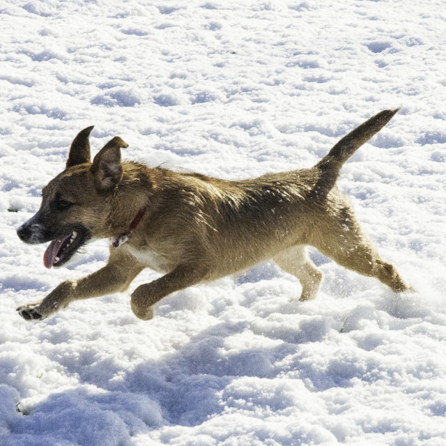 """Terrier running in Snow"" stock image"