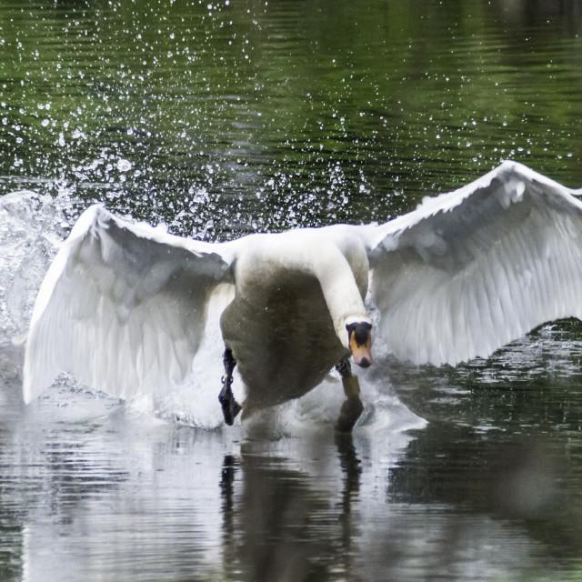 """""""Swan taking off on lake"""" stock image"""