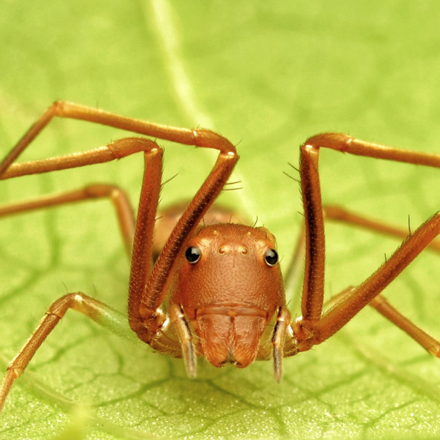 """Portrait of Ant-like Spider"" stock image"