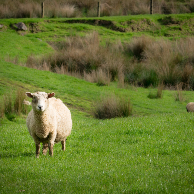"""Sheep // Matakana, New Zealand"" stock image"