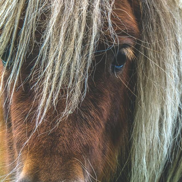"""Tan Shetland Pony Portrait"" stock image"