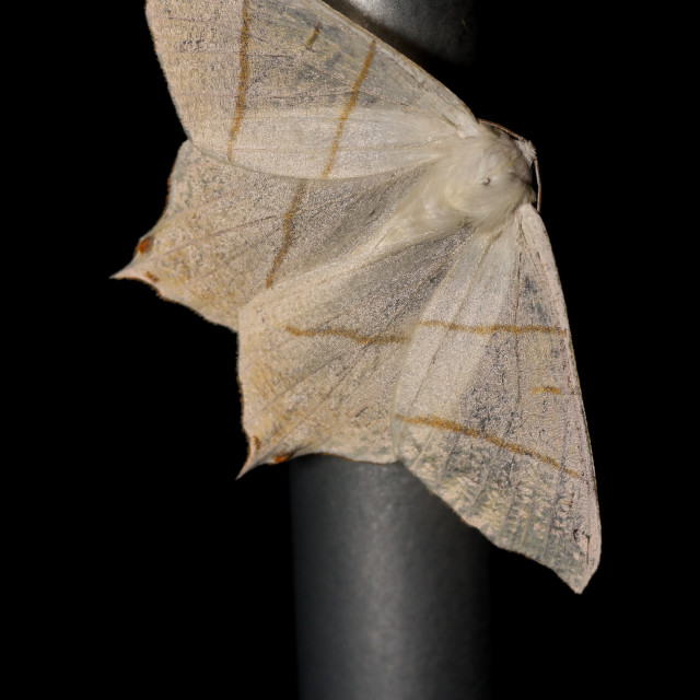 """""""Swallow-tailed moth"""" stock image"""